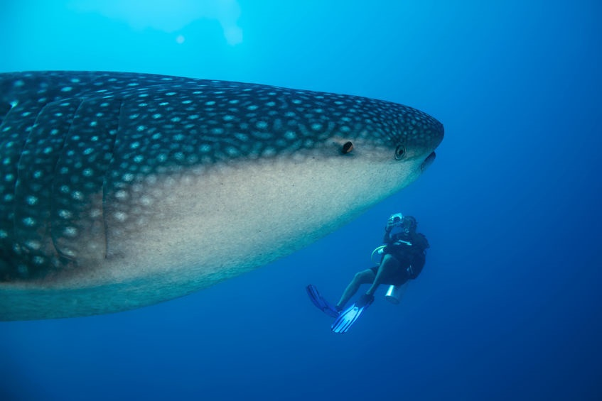 How I Dived with Whale Sharks
