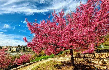 פריחת הדובדבן בגן הבוטני בירושלים