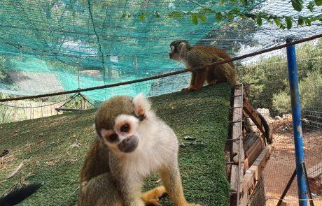 גידול באוכלוסיית יער הקופים ביודפת